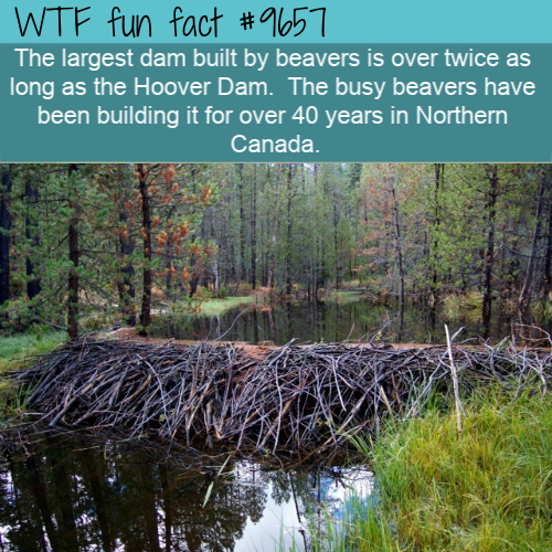 The largest dam built by beavers is over twice as long as the Hoover Dam.  The busy beavers have been building it for over 40 years in Northern Canada.