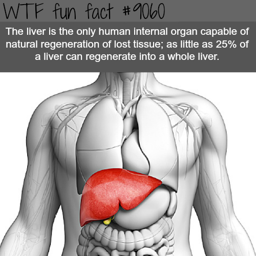 The liver - WTF fun facts