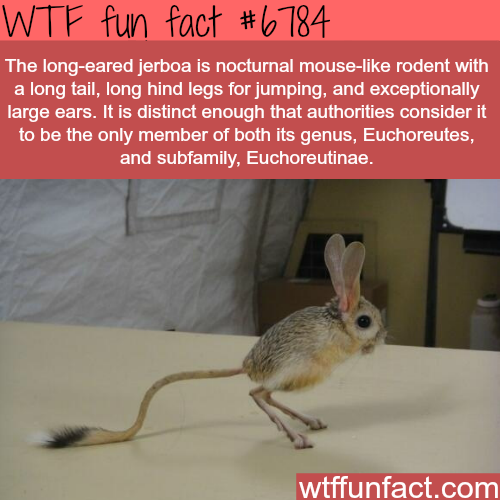 The long-eared jerboa - WTF fun fact