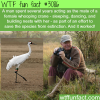 the man who acted as the mate for whooping crane