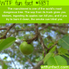 the manchineel tree wtf fun facts
