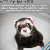 the meaning of ferret wtf fun facts