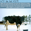 the most expensive cow in the world