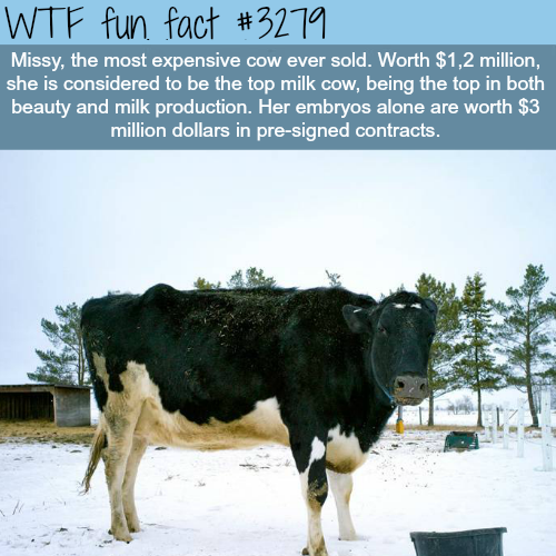 The most expensive cow in the world -  WTF fun facts