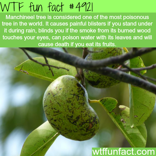 The most poisonous tree in the world - WTF fun facts