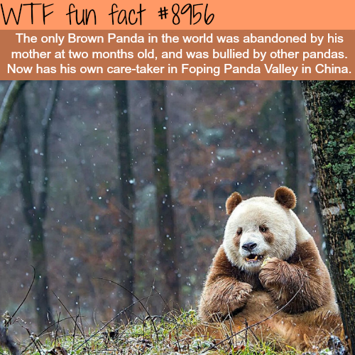 The only Brown Panda in the world - WTF fun facts