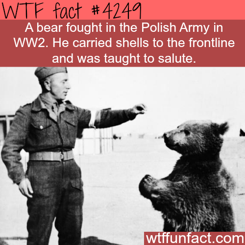 The polish army and their bear soldier -  WTF fun facts