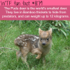 the pudu deer wtf fun fact