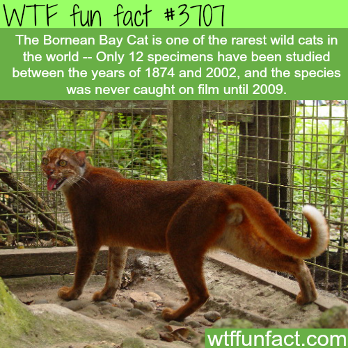 The rarest and most beautiful cat in the wild -  WTF fun facts