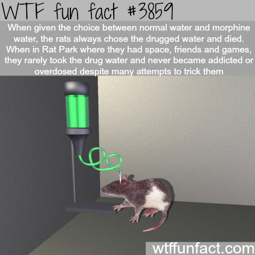 The Rat Park experiment - WTF fun facts