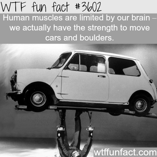 The real strength of the human muscles -  WTF fun facts