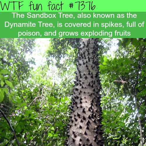 The Sandbox Tree - WTF fun facts