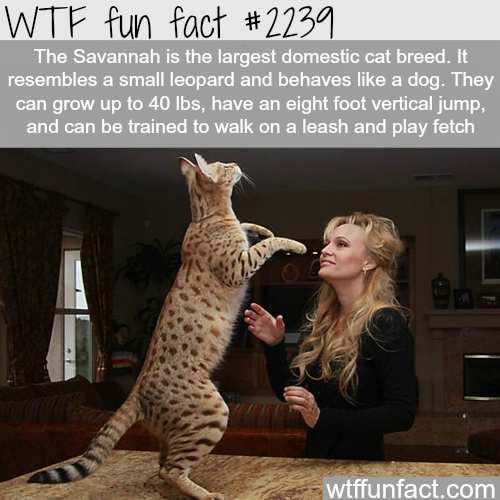 The savannah cat - WTF fun facts