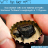 the smallest turtle ever hatched