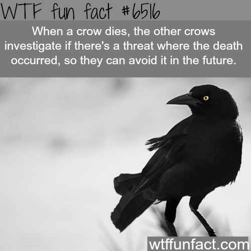 The smartest birds  - WTF fun facts