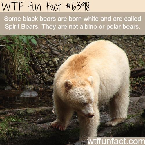 The spirit bears - WTF fun facts