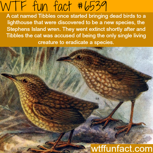 The Stephens Island wren - WTF fun facts