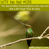 the sword billed hummingbird wtf fun facts