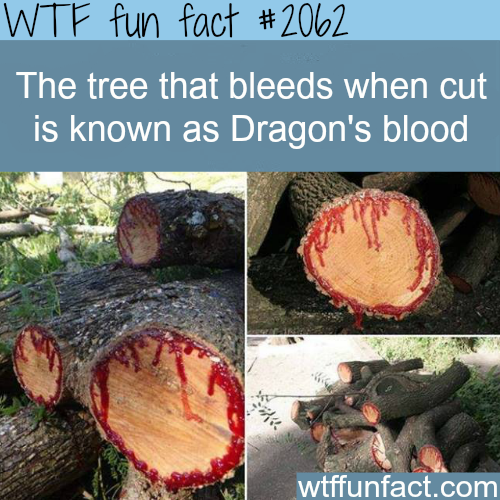 The tree that bleeds -WTF fun facts
