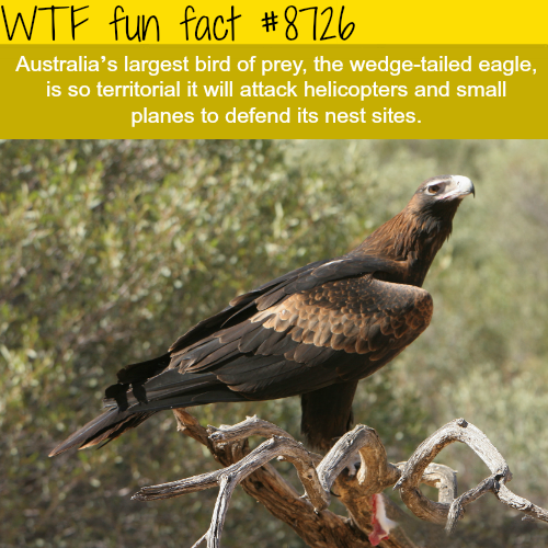 The wedge-tailed eagle - WTF fun facts