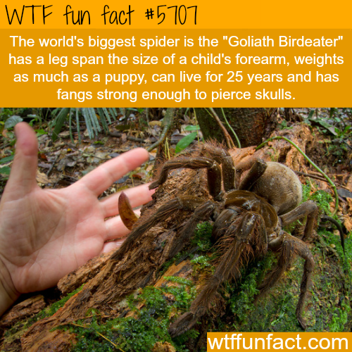 The world's biggest spider - WTF fun fact