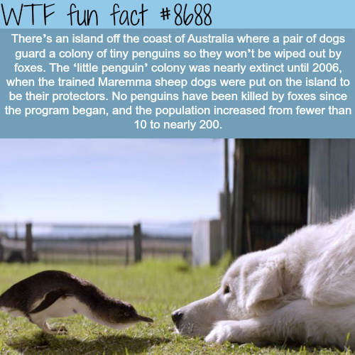 These dogs helped protect a colony of penguins - WTF fun facts
