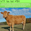 this cow earned the right to live wtf fun facts