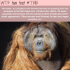this orangutan escaped his enclosure three times