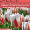 this tulip resembles the canadian flag wtf fun