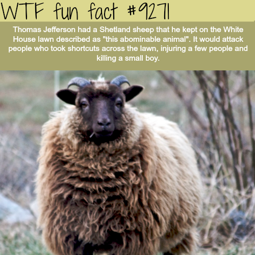 Thomas Jefferson's Shetland Sheep - WTF fun fact