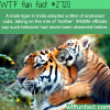 tiger adopted orphaned cubs
