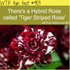 tiger bird rose