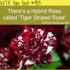 tiger bird rose