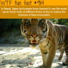 tigers in nepal wtf fun fact