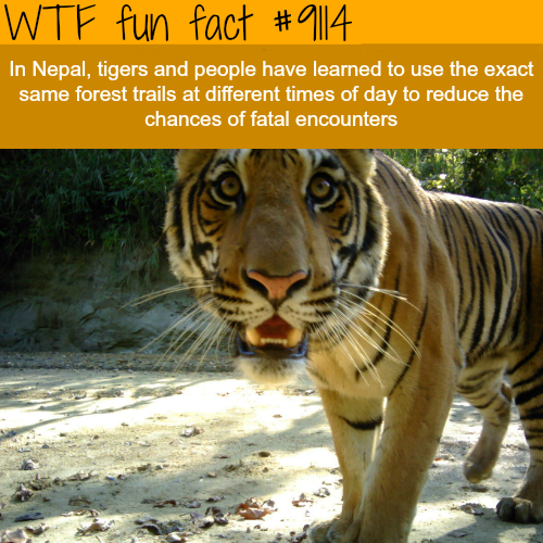 Tigers in Nepal - WTF fun fact