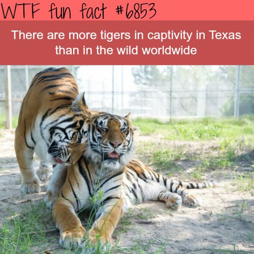 Tigers in Texas - WTF fun fact