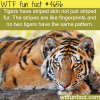 tigers stripes wtf fun facts