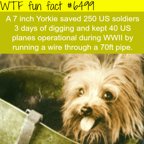 Tiny Yorkie - WTF fun facts