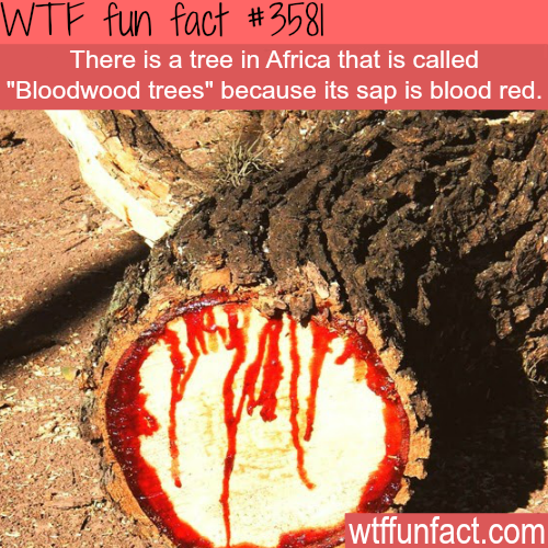 "Tree in Africa that ""bleeds"""