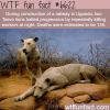 tsavo lions that killed more than 100 people wtf
