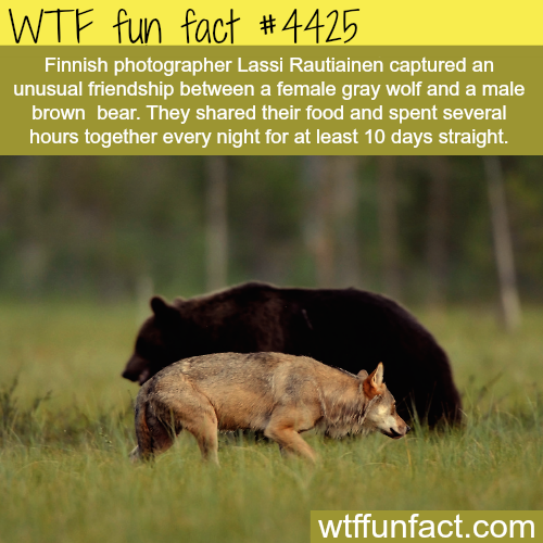 Unusual friendship between wolf and bear -   WTF fun facts