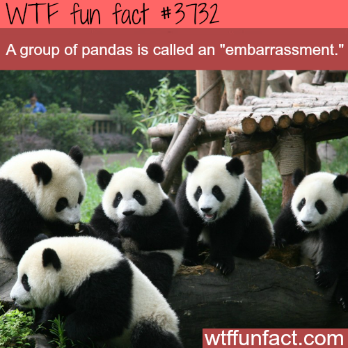 What a group of panda is called -  WTF fun facts