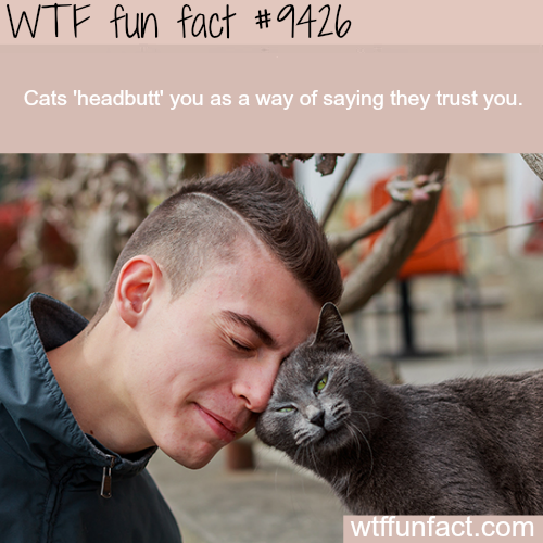 When cats headbutt you - WTF fun fact