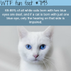 white cats with blue eyes wtf fun fact