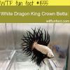 white dragon king crown betta