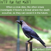 why crows are one of the smartest animals wtf