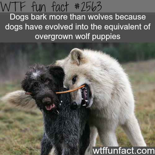 Why dogs bark more than wolf - WTF fun facts