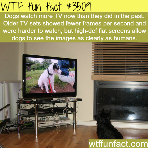 Why dogs watch TV more now - WTF fun facts
