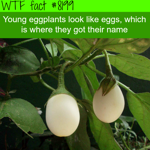 Why eggplants are called eggplants - WTF fun fact