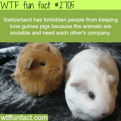 Why keeping a lone guinea pig is bad for the animal - WTF fun facts